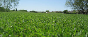 overseed ryegrass lawn